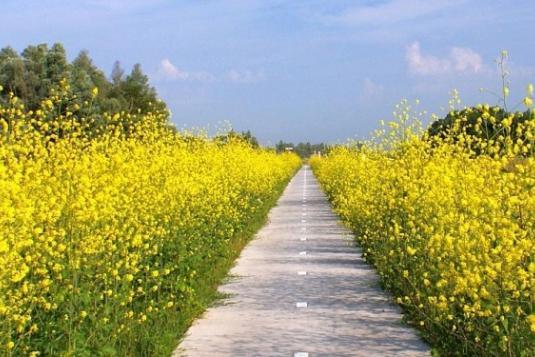 fietspad tussen gele bloemen